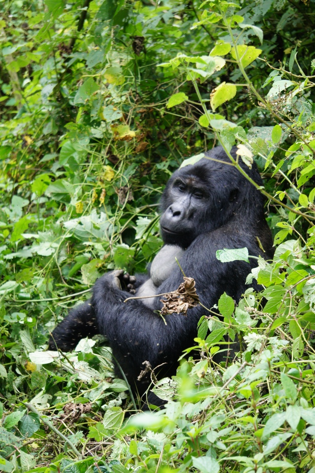 Mountain Gorilla, Uganda | Close Encounters of the Cooking Kind