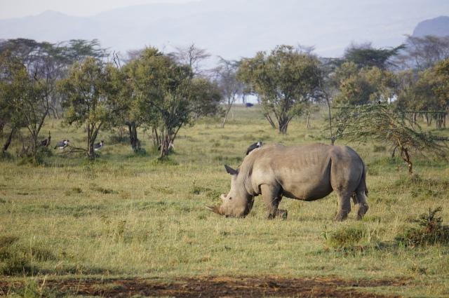White Rhino, Lake Nakuru, Kenya | Close Encounters of the Cooking Kind