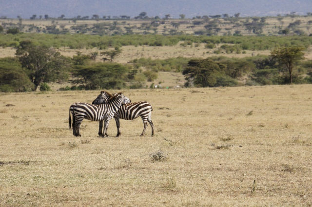 Zebras, Masai Mara National Park, Kenya | Close Encounters of the Cooking Kind