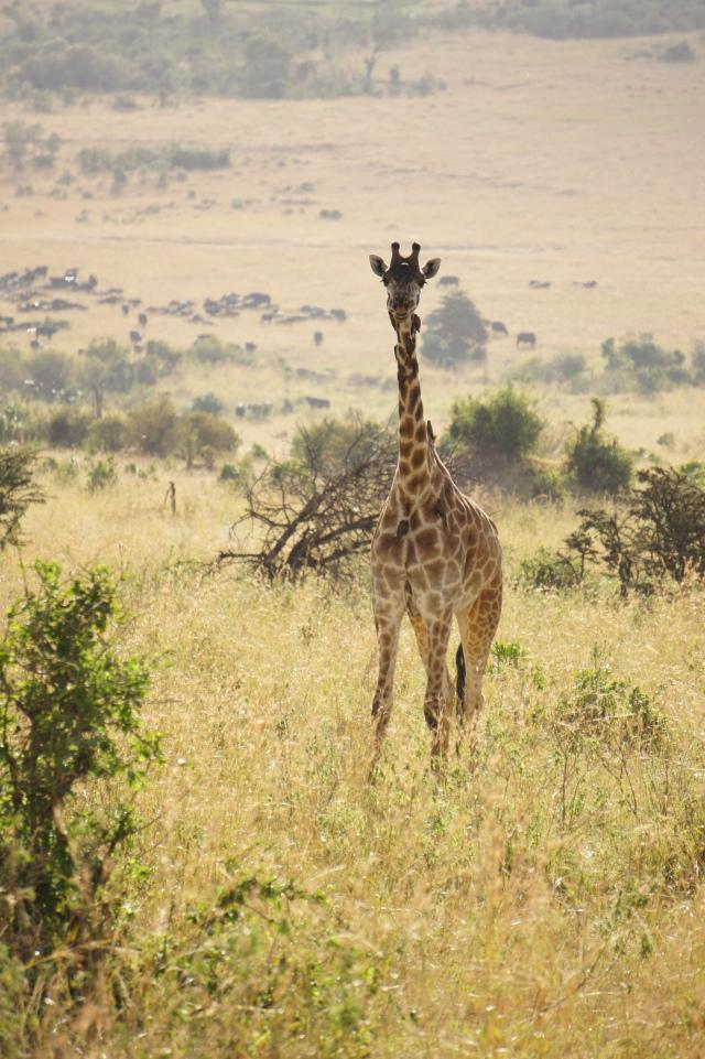Giraffe, Masai Mara National Park, Kenya | Close Encounters of the Cooking Kind