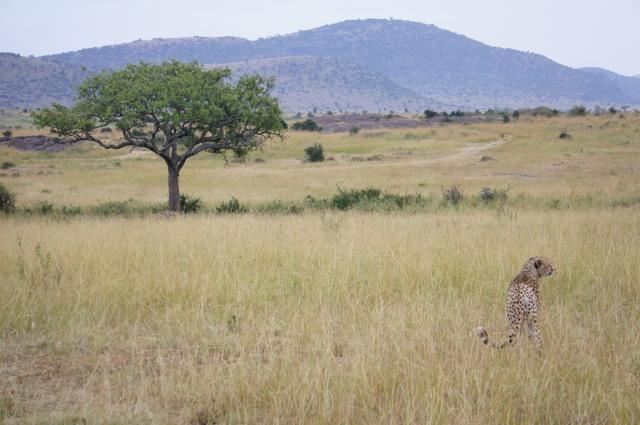 Cheetah, Masai Mara National Park, Kenya | Close Encounters of the Cooking Kind