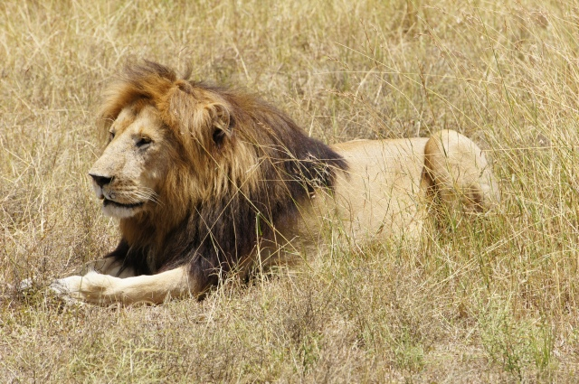 Lion, Masai Mara National Park, Kenya | Close Encounters of the Cooking Kind