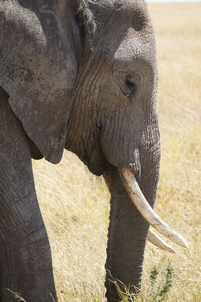 Elephant, Serengeti National Park | Close Encounters of the Cooking Kind