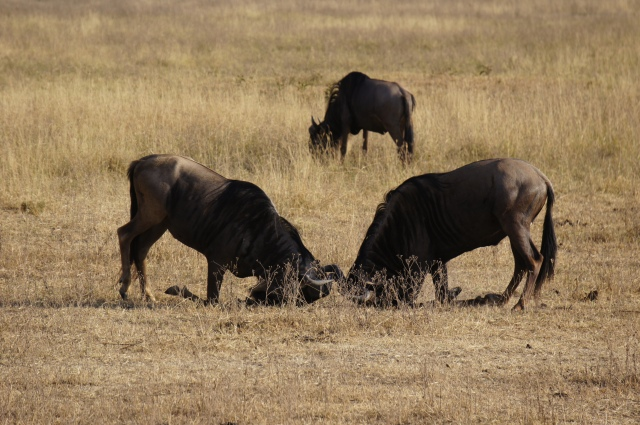 Wildebeest, Serengeti National Park | Close Encounters of the Cooking Kind