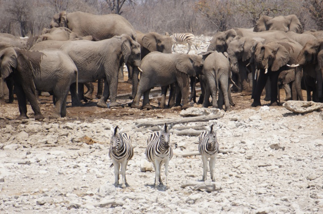 Zebras, Etosha National Park, Namibia | Close Encounters of the Cooking Kind